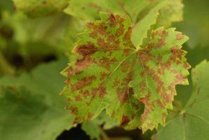 Leggyakoribb vírusbetegségek a hazai szőlőültetvényekben