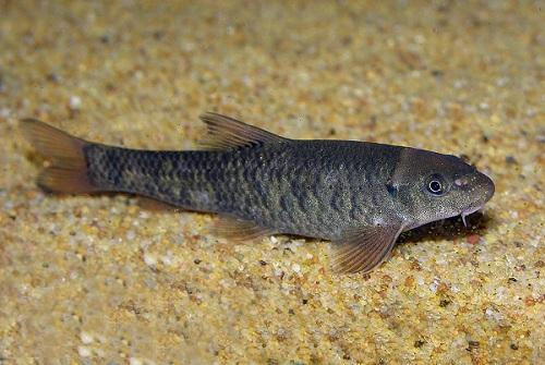 hal, amely pikkelysömör gyógyítja