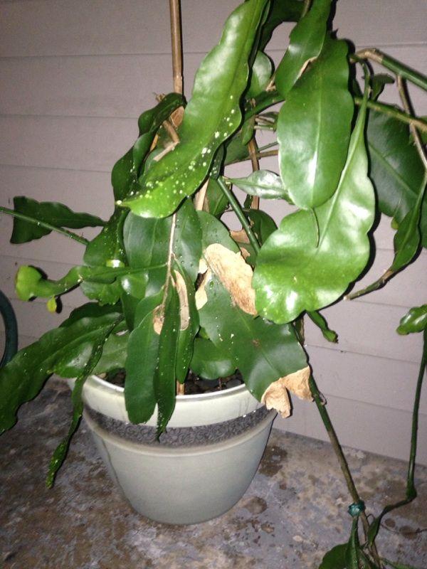 cactus epiphyllum pikkelysömör kezelése erős pikkelysömör kenőcs